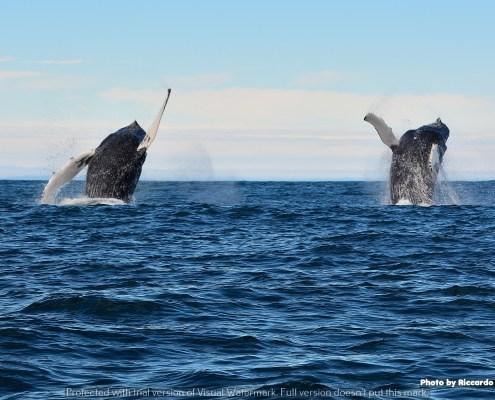 Islanda Balene doppio carpato