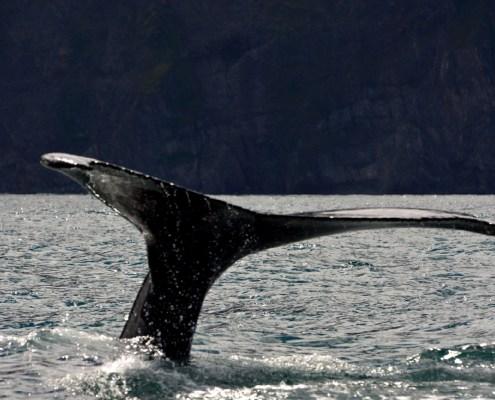 Whale-watching-coda-balena-4