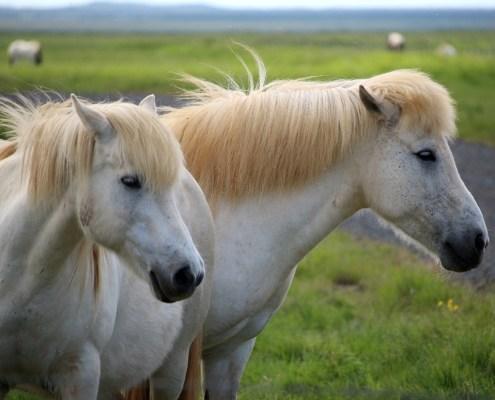 Islanda cavalli bianchi