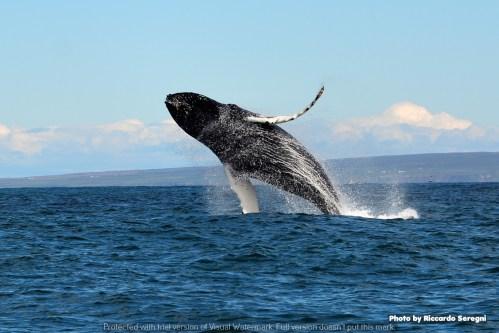 Islanda salto balena