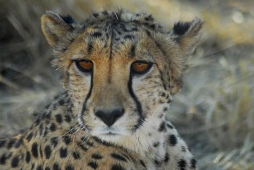 Namibia: Etosha NP. Ghepardo.
