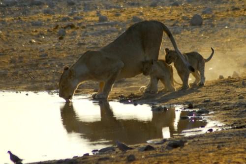 Namibia: Etosha NP. Leoni.©