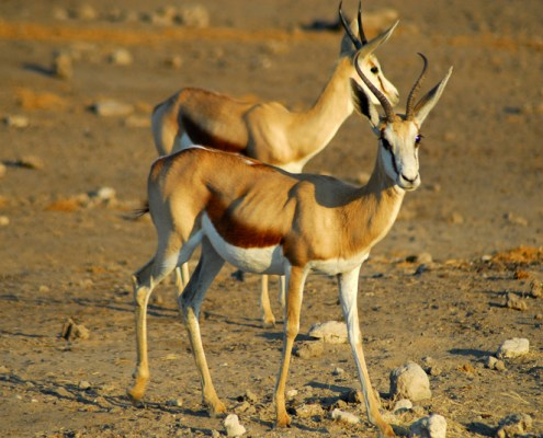 Namibia: Etosha NP. Springbok