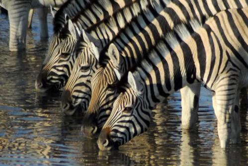 Namibia: Etosha NP. Zebre,