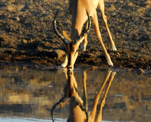 Namibia: Springbok alla pozza.