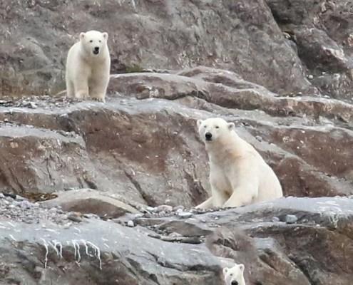Svalbard-orso-polare