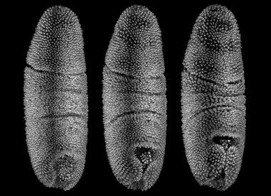 Fruit fly embryonic development