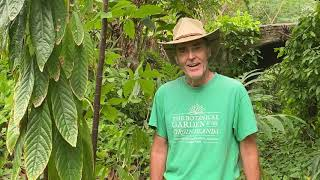 in the garden with dewey cacao tree