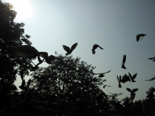 Pigeons caught in flight
