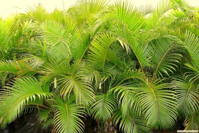 areca palm plant in hindi