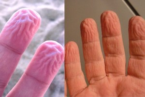 why finger get wrinkled in water