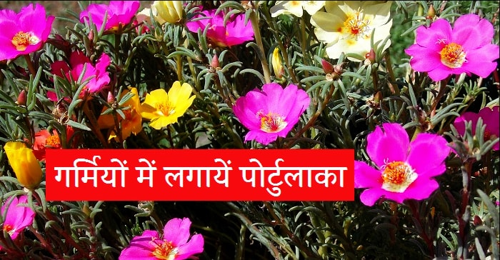 Portulaca in hindi