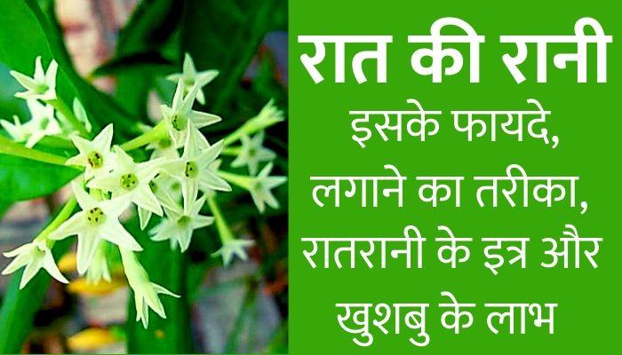 ratrani flower information in hindi