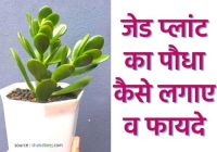 about jade plant in hindi