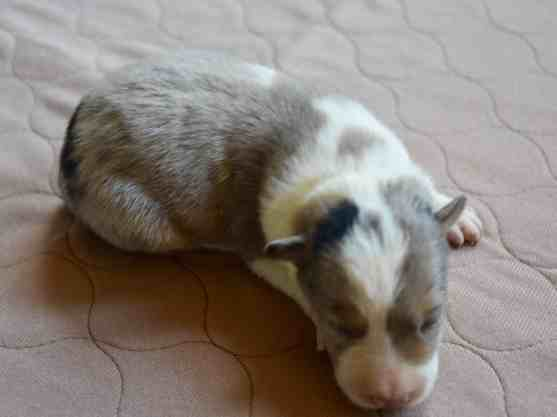 blue merle tri border collie Pups