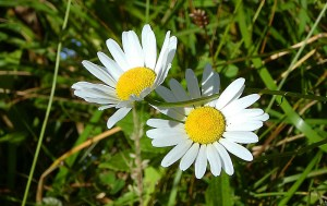 A pair of daisies in the sun