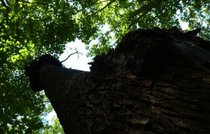Beach tree trunk with vinegar bolls at intervals
