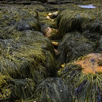 Slippery Seaweed