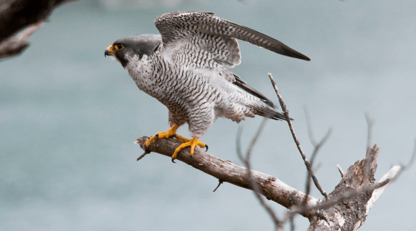 Native Animal of the Month: Peregrine falcon