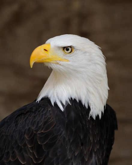 Animals in Spring: Bald Eagle
