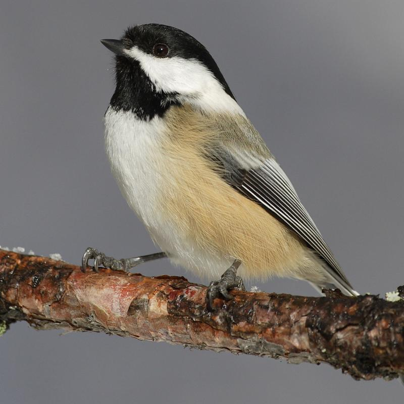 Animals in winter: The black-capped chickadee