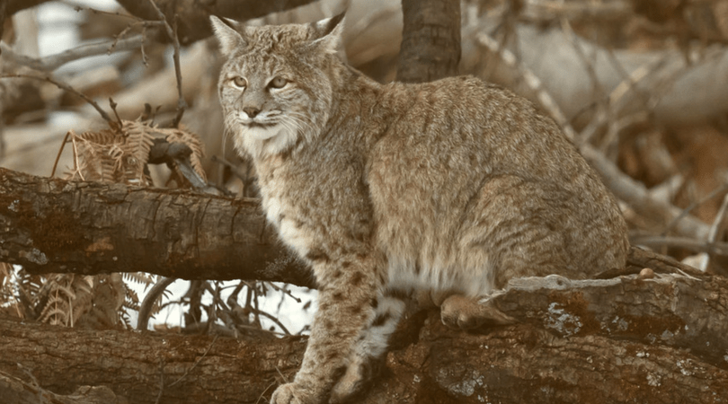 Native Animal of the Month: Bobcat