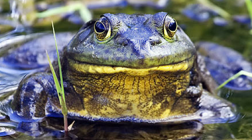 A Ribbeting Tale of Invasion: The American Bull Frog