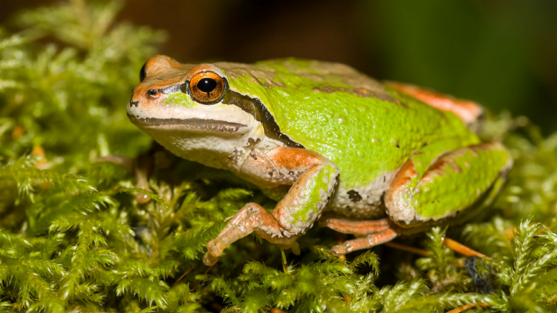 Animals in Summer: Pacific Chorus Frogs