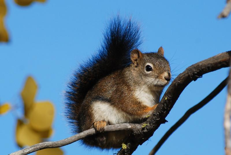 Animals in winter: The Douglas Squirrel