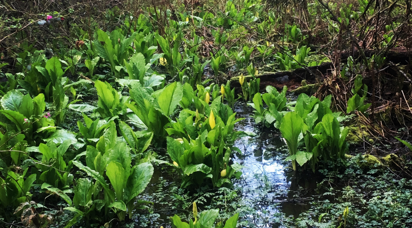 Native plant of the month: Skunk Cabbage