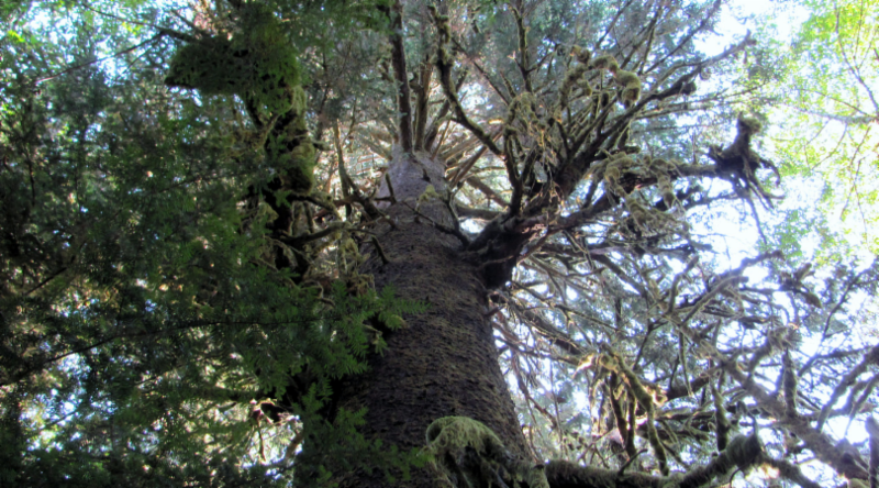 Native Plant of the Month: Sitka Spruce