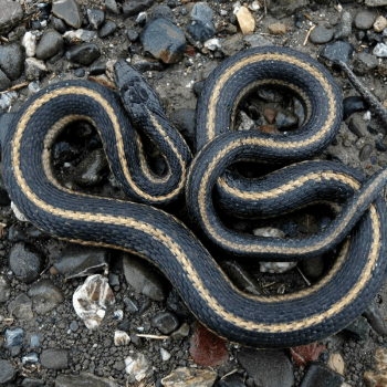 Animals in Spring: Gartner Snake