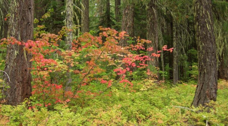 Native Plant of the Month: Vine Maple – Acer circinatum