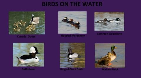 AudubonBirds-3