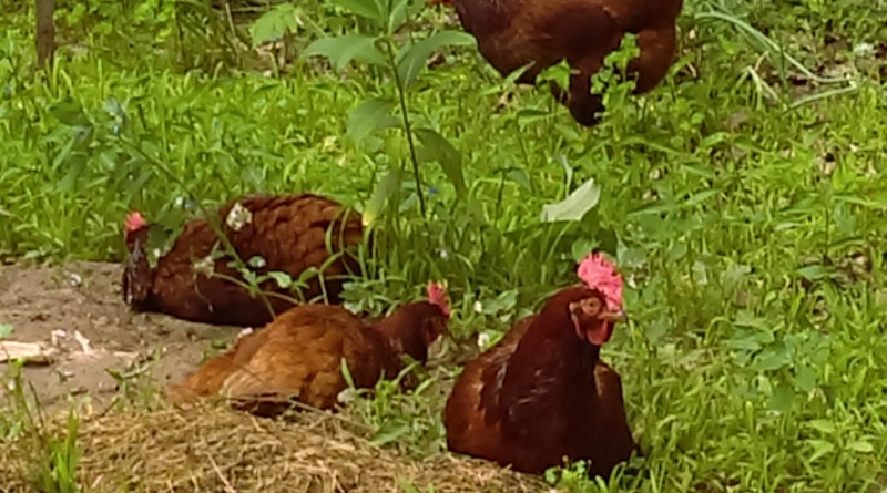 chickens pasture raised