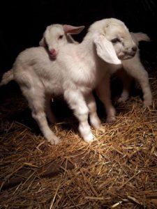 saanen kids goat