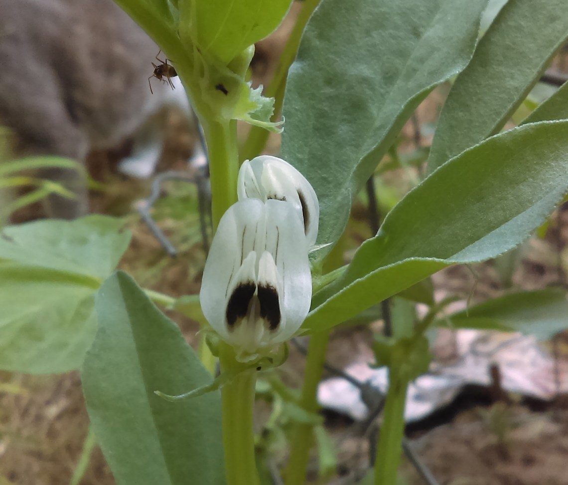 fingerprint fava plants blossoms