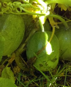 pakistani cucumber heirloom