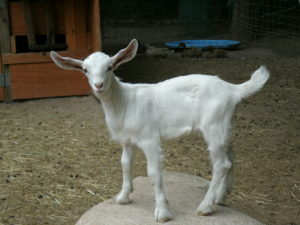 goat saanen kid