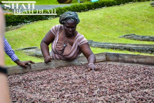 A chocolate plantation worker sifting through drying cocoa beans, one of Grenada's main industries.