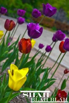 Tulips at the Allen Centenniel Gardens