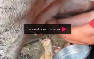 Cat drinking freshest cow milk تازه ترین غذا دنیا