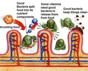 bakteria bunuh kuman mommylotte usus