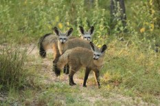 Bat Eared Fox (24)