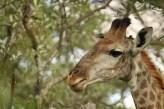 kameelperd-6