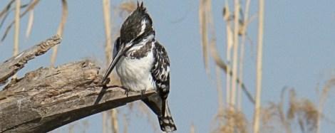 Pied Kingfisher (3)