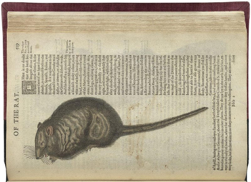 Text about rats and illustration of a rat