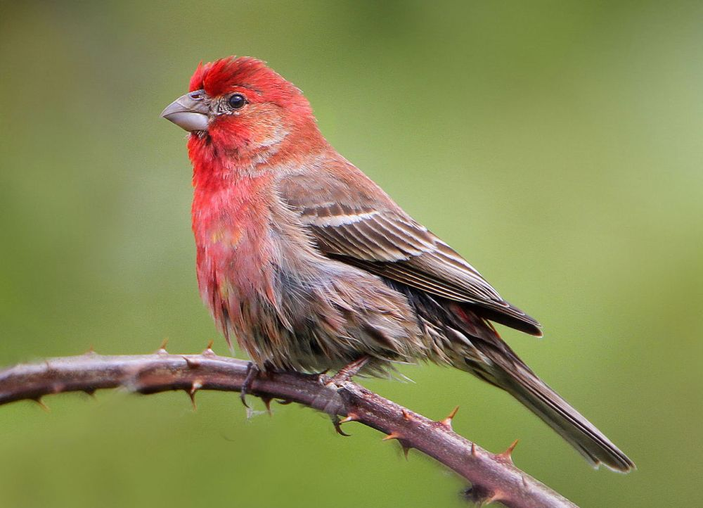 red house-finch on Shalavee.com
