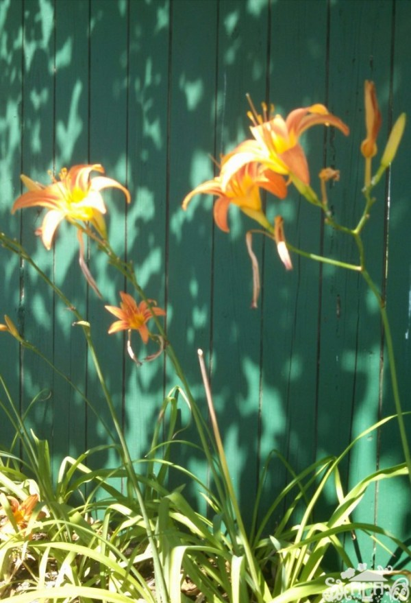 Ditch Lilies from Self-Efficacy post on Shalavee.com