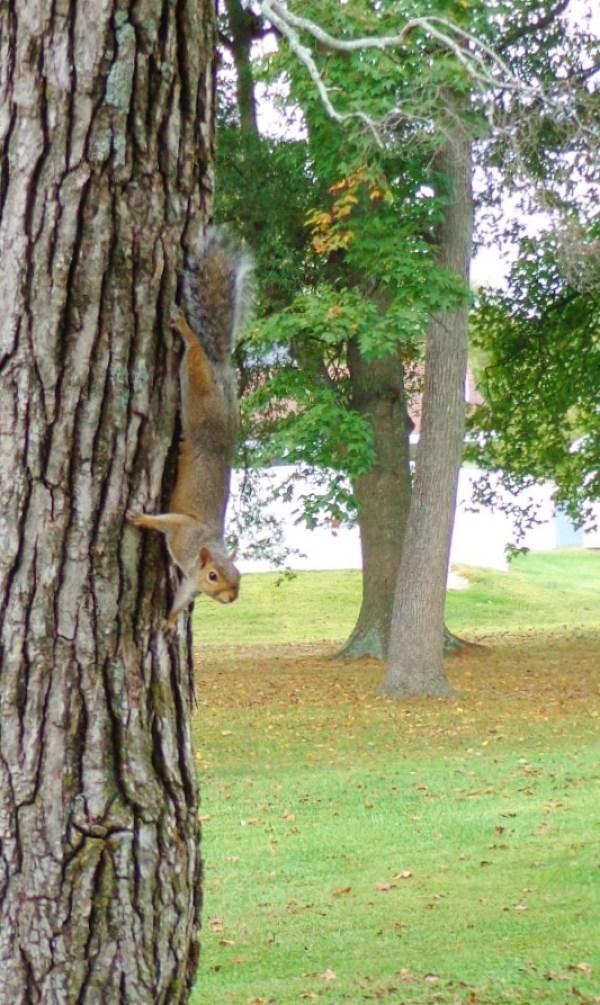 Eastern Gray squirrel on Shalavee.com
